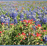 Bluebonnet field, San Marcos, Texas